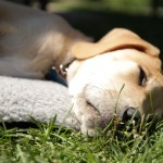Keeping your Dog (and other pets) Safe from Heat Stroke