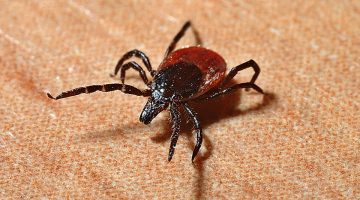 What You Need To Know About Ticks In Dogs